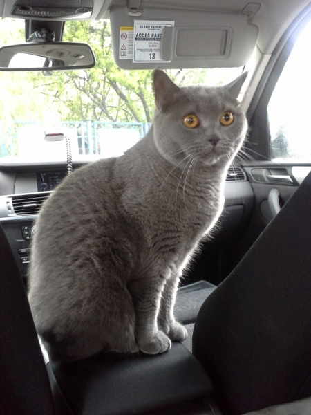02 british shorthair
